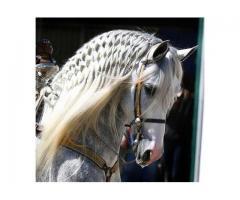 Trenzado para concursos y clases de equitacion en Valencia